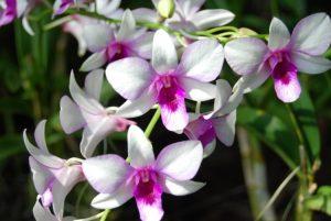 Bunga Anggrek Murah